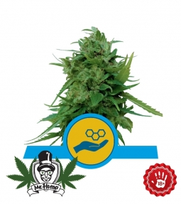 Royal Queen Seeds Solomatic CBD Seeds